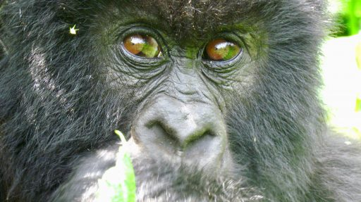 Detailný záber tváre samice gorily horskej