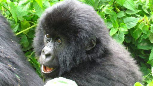Jedno z prítomných gorilých mláďať rodiny Humba
