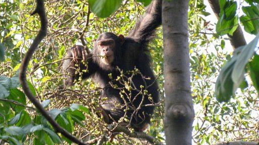 Raňajky šimpanza učenlivého v konžskom národnom parku Virunga