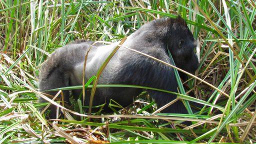 Gorila nížinná východná (Gorilla beringei graueri)